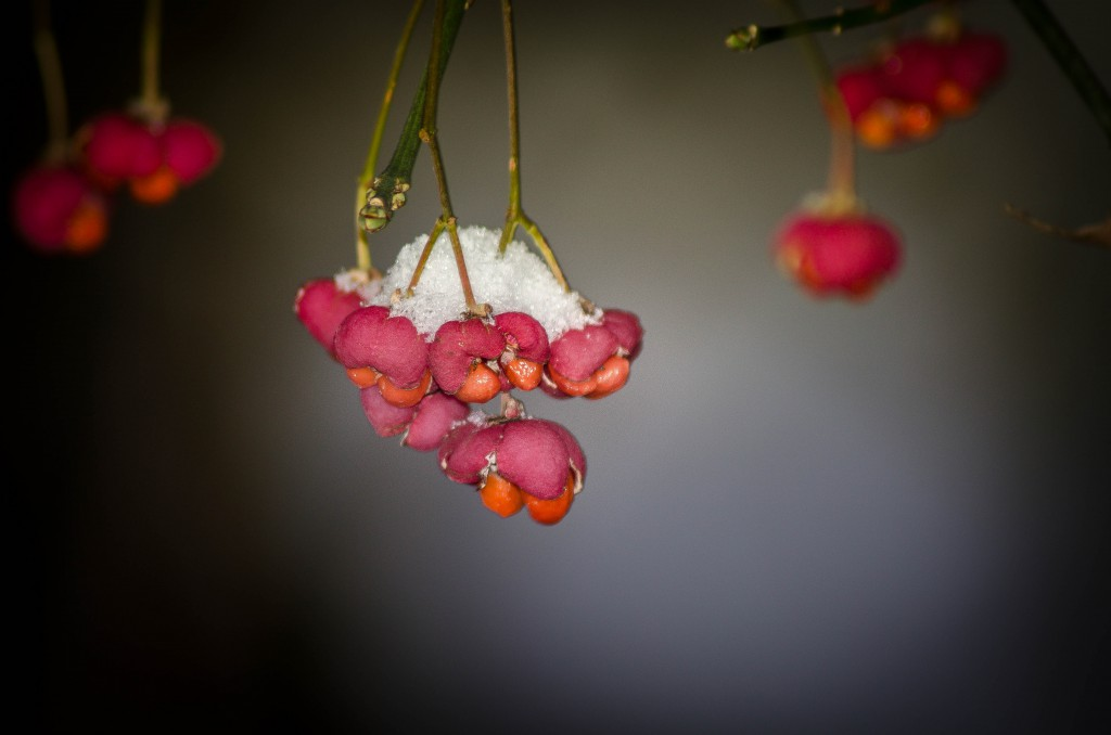 Snow on Red flowers